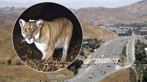 האם מישהו ירצה לגור ליד?  מפחיד, לא? קליפורניה תקים את המעבר האקולוגי הגדול בעול...