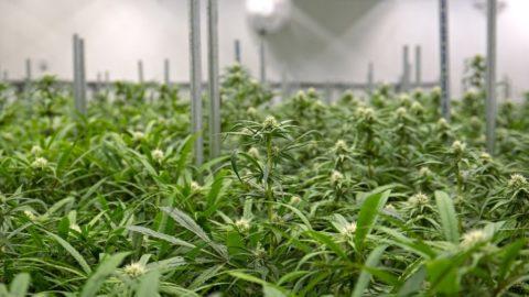 Investir dans des installations de cannabis à usage médical: Guide de l'investisseur immobilier